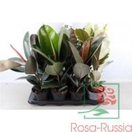 Ficus Elastica Mix