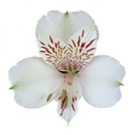 ALSTROEMERIA Himalaya White