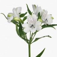 ALSTROEMERIA PREMIUM WHITE