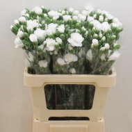 CARNATION SPRAY WHITE
