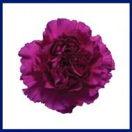 Carnation Zafiro